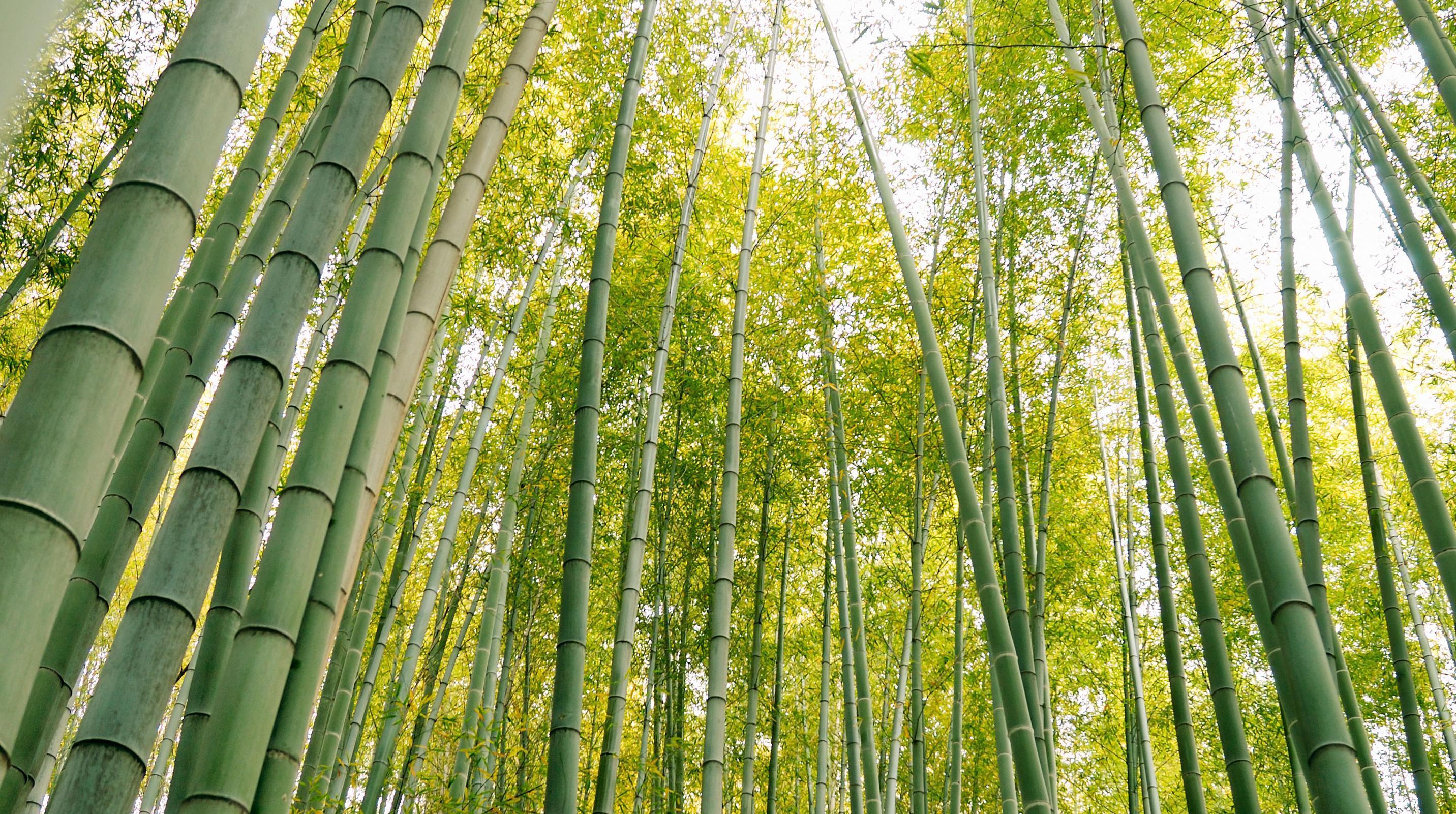 Siamo la società leader in Europa per la piantumazione di Bambù Gigante