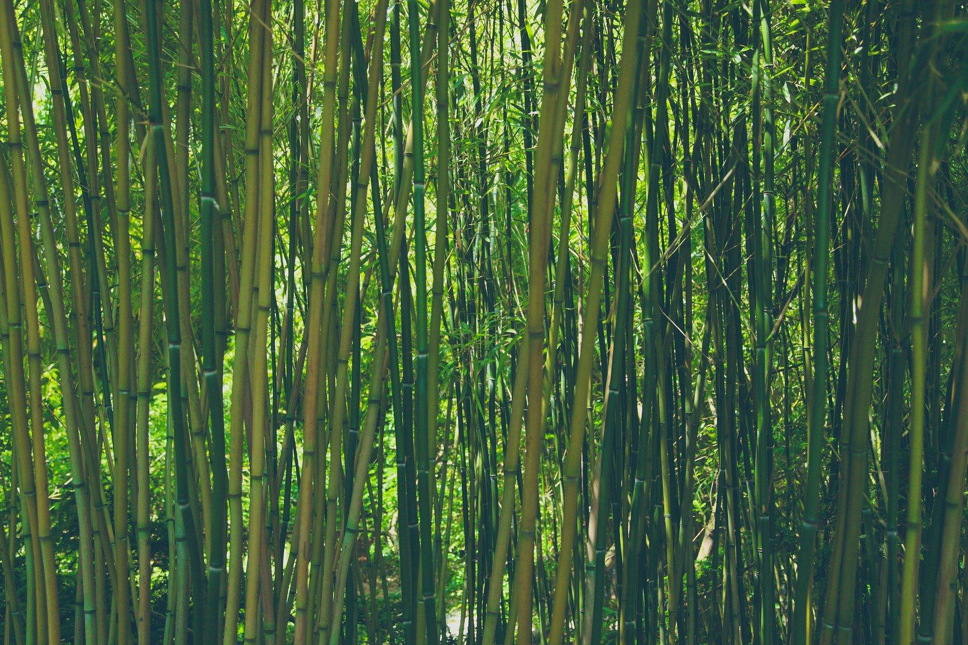Come si coltiva il bambù gigante Moso?