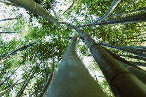 Coltivare il bambù è rapido responsabile e redditizio