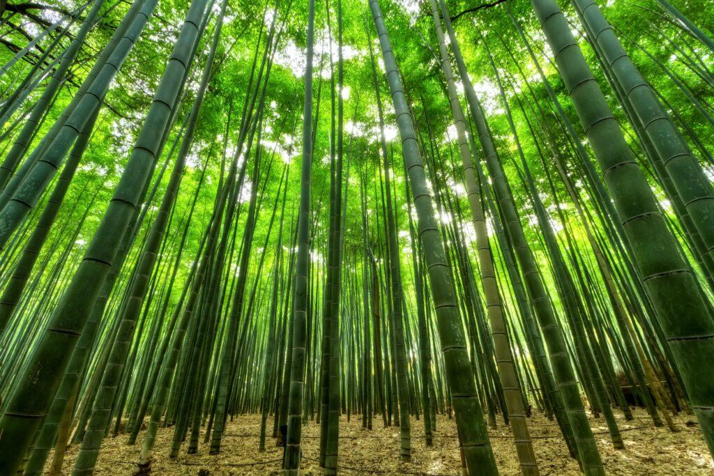 Il bambù: rapido, redditizio, sostenibile