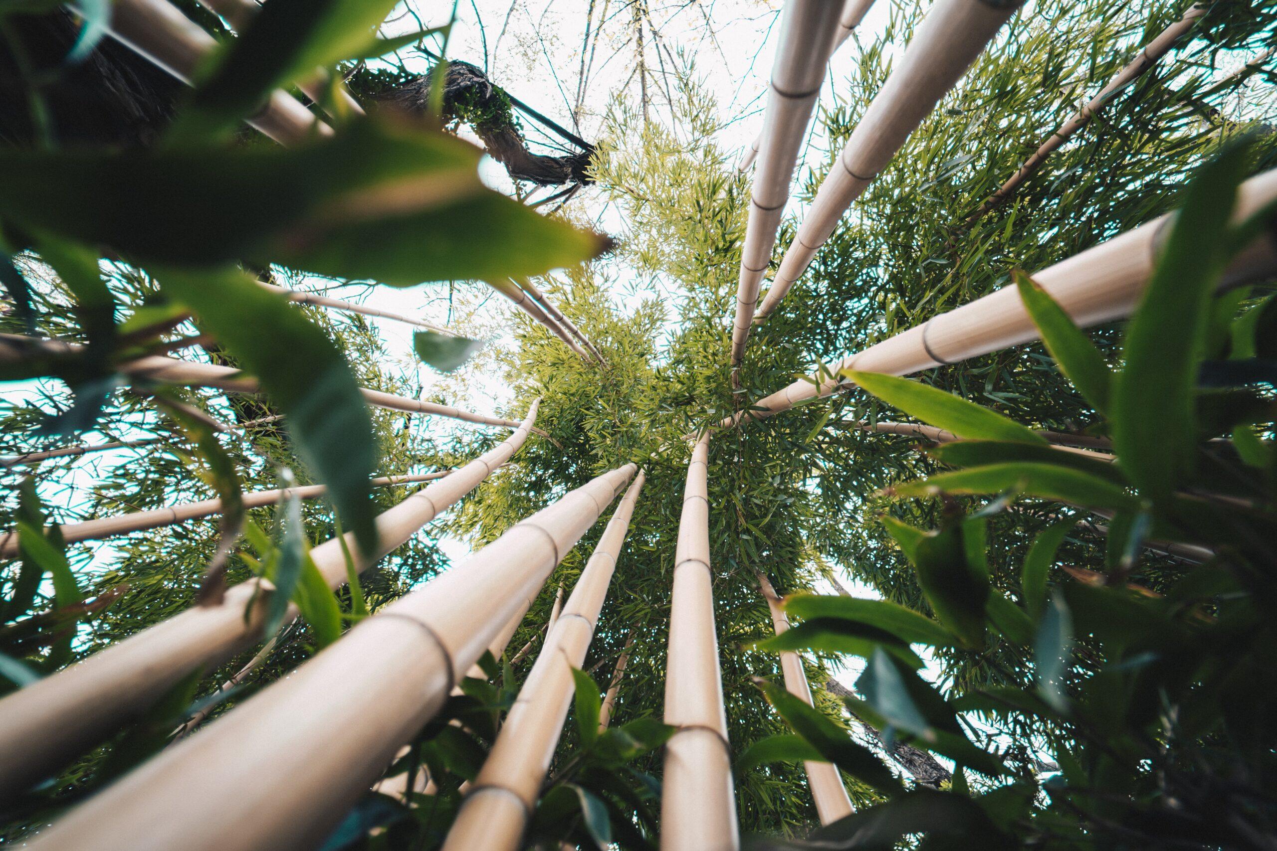 3 buone ragioni per investire nel bambù gigante: una scelta responsabile, redditizia e dai rapidi risultati