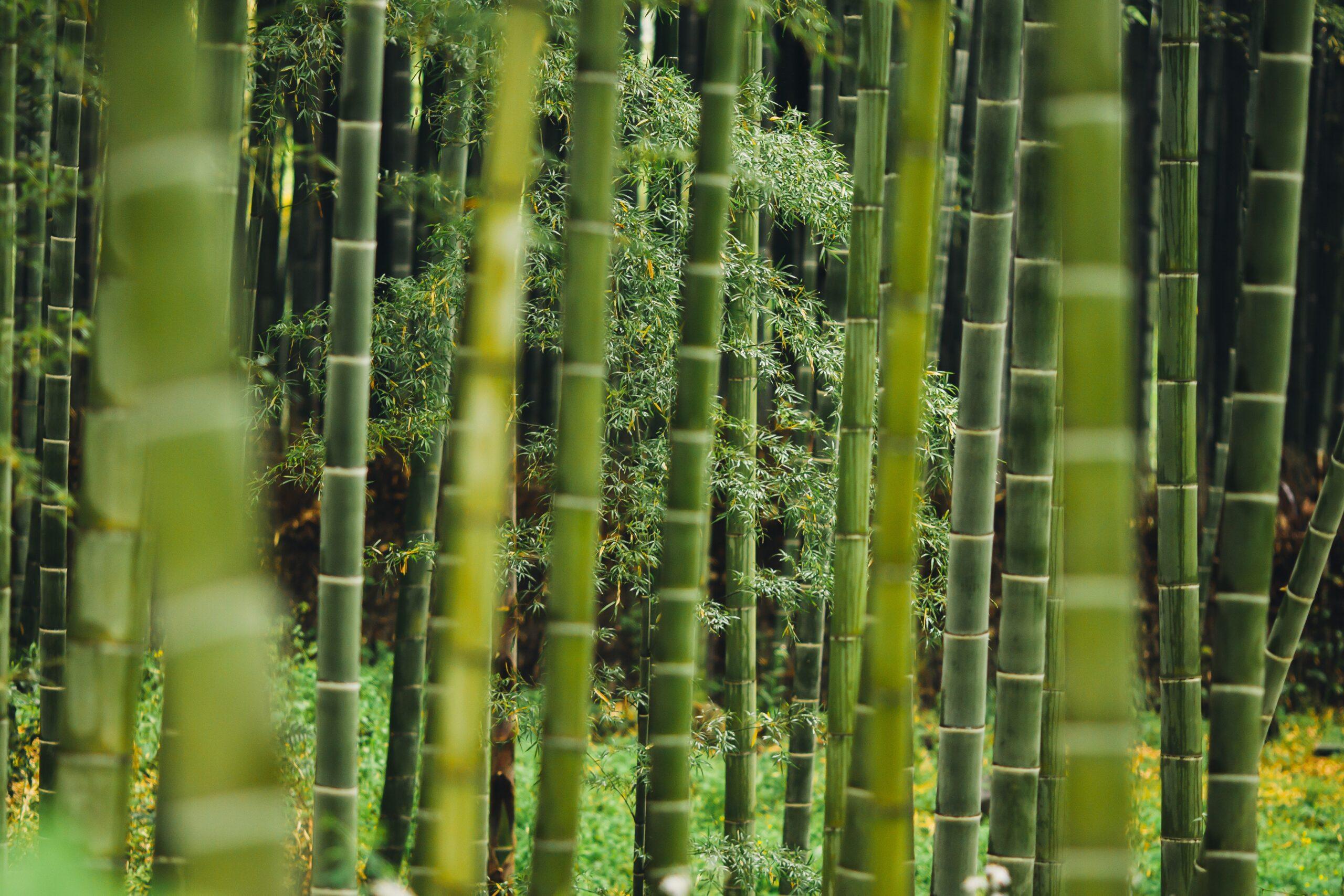 Bambù o bamboo: facciamo chiarezza